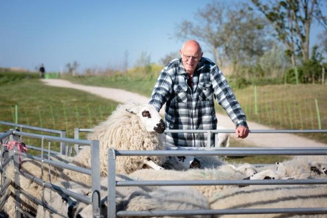 bij het schapen scheren