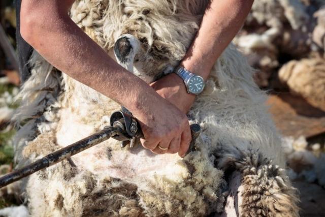 schapenscheren